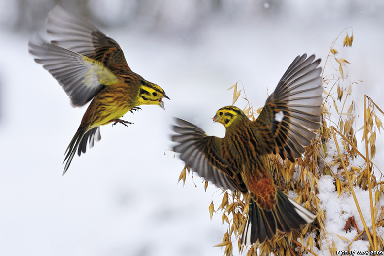 نزاعات الطيور