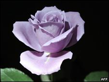 Rosa genéticamente modificada