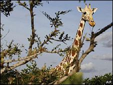 Jirafa de Níger