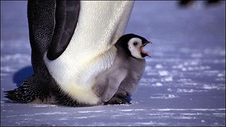 ледокол все-таки плывет к пингвинам 091116090312_emperor_penguin_466_262
