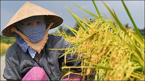 Thu hoạch lúa ở đồng bằng sông Mekong