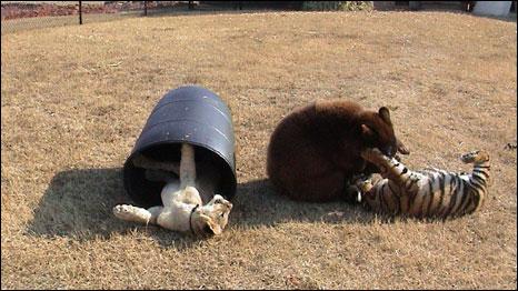 Baloo, Shere Khan e Leo. Foto: noahs-ark.org - Locust, GA
