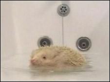 Snowball fazendo 'natação' na banheira