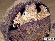 Pulpo escondido en una cáscara de coco
