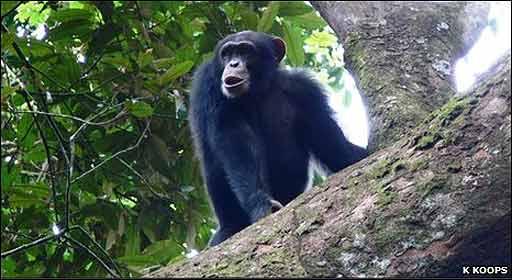 Chimpancé en Guinea