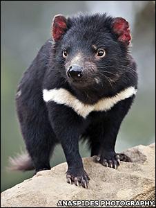 Diabo-da-Tasmânia