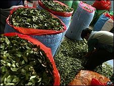 Cosecha de coca en Bolivia