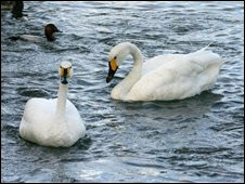 Cisnes da reserva de Slimbridge
