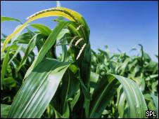 Plantação de milho transgênico