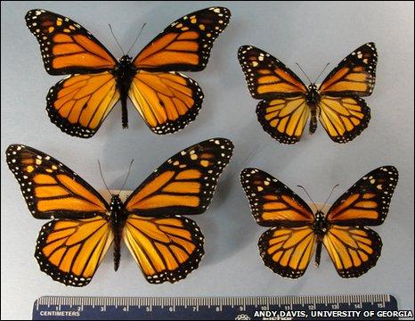 BBC Mundo - Ciencia y Tecnología - Mariposas monarcas ahora son ...