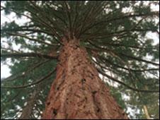 Árvore nos Estados Unidos (BBC)