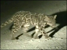 Leopardo nebuloso de Sundaland (Foto: A Wilting/A Mohamed/Cat News)