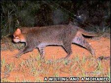 gato-de-cabeça-chata (Prionailurus planiceps)  Foto: A Wilting e A Mohamed