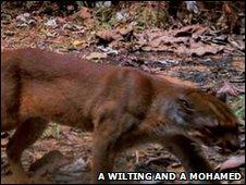 gato-vermelho-de-Bornéu Foto: A Wilting e A Mohamed
