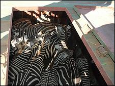 Zebras capturadas (imagem: Serviço de Vida Selvagem do governo do Quênia)