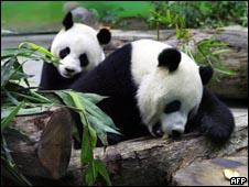 Imagem de arquivo mostra dois pandas gigantes chineses (AFP, 24 de janeiro de 2009)