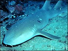 Tubarão Lixa (foto: NOAA)