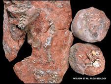 Fósil de Sanajeh indicus, tres huevos de dinosaurio y un reptil recién nacido