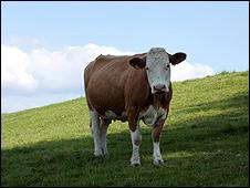 Vaca en campo paraguayo.