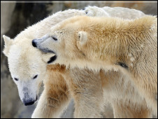 Knut e a 'namorada' Giovanna (Foto: AFP)