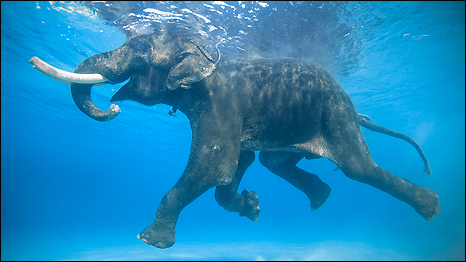 Rajan The Swimming Elephant