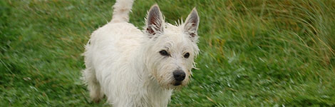 Hamish, a West Highland Terrier dog