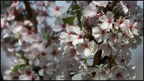 گل های گیلاس