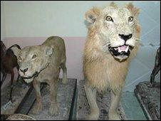 Casal de leões empalhados