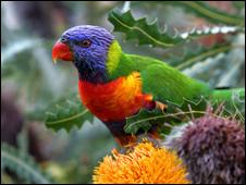 ...будем делать яркого и пестрого попугайчика из бисера.Вот он,красавчик -образец для нашего с вами попугая из бисера.