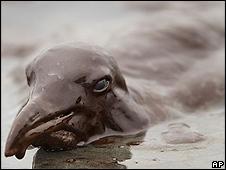 Pelicano coberto em petróleo