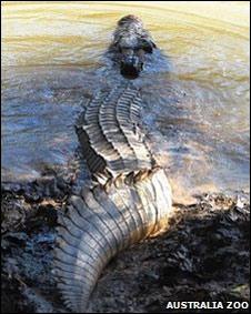 Un cocodrilo nadando