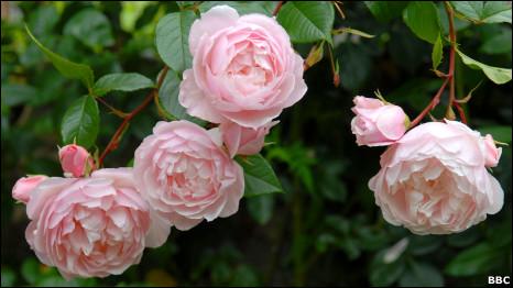 फूल, गुलाब