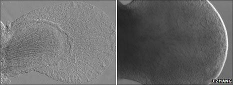 Embrion de pez (izquierda)  y embrión de ratón (derecha)