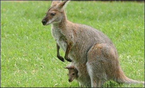 Canguro y su cría