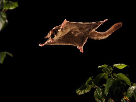http://wscdn.bbc.co.uk/worldservice/assets/images/2010/07/23/100723105959_sugarglider466.jpg