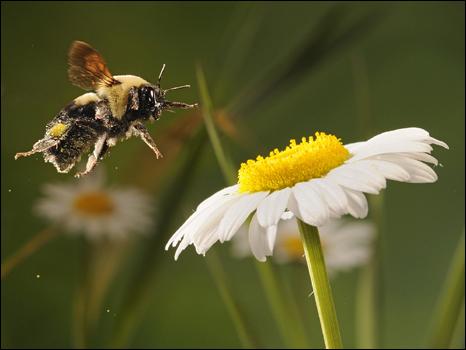 http://wscdn.bbc.co.uk/worldservice/assets/images/2010/07/23/100723110001_pollinator466.jpg