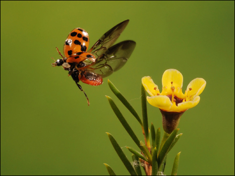 http://wscdn.bbc.co.uk/worldservice/assets/images/2010/07/23/100723110045_ladybug466.jpg