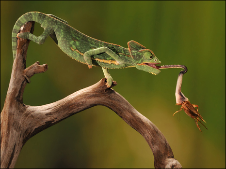 https://wscdn.bbc.co.uk/worldservice/assets/images/2010/07/23/100723110051_chameleon466.jpg