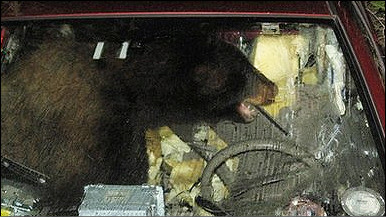 صورة الدب