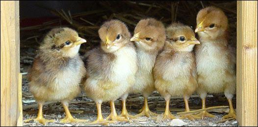 ¿Qué fue primero, el huevo o la gallina? 100728155043_huevo526