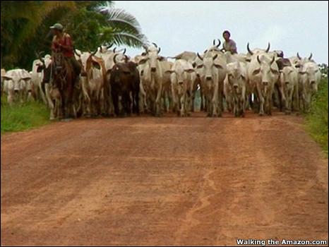 https://wscdn.bbc.co.uk/worldservice/assets/images/2010/08/02/100802094308_ed_cattle_466x350_walkingtheamazon.com.jpg