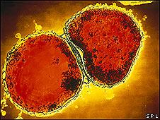 Bacteria Neisseria meningitidis
