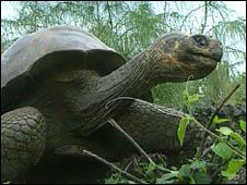 دراسة: السلاحف العملاقة انقرضت بسبب الانسان 100816210006_trtl226