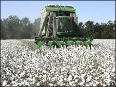 Recolección de algodón