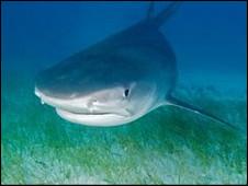 إصابة 3 سائحين في هجوم نادر لسمكة قرش في شرم الشيخ بمصر 100917032852_shark_226x170_nocredit