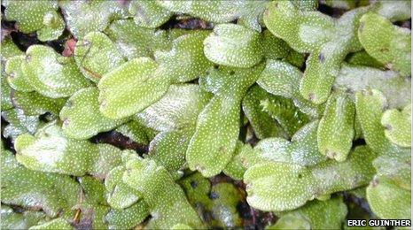 Planta hepática moderna