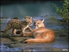 Pumas en su habitat