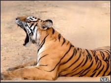 Tigre bostezando.