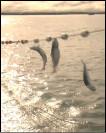 Reeling in fish during the Alaskan great wild salmon run