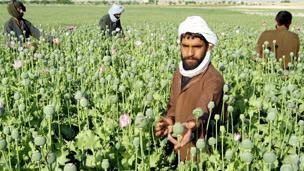 مزرعه مواد مخدر در افغانستان